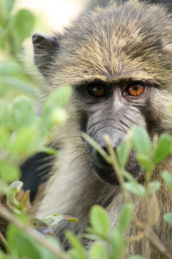 Baboon - Τανζανία, Αφρική στοκ φωτογραφία με δικαίωμα ελεύθερης χρήσης