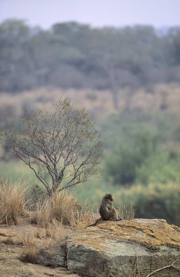 baboon της Αφρικής θηλυκός νότος τοπίων chacma στοκ εικόνα με δικαίωμα ελεύθερης χρήσης