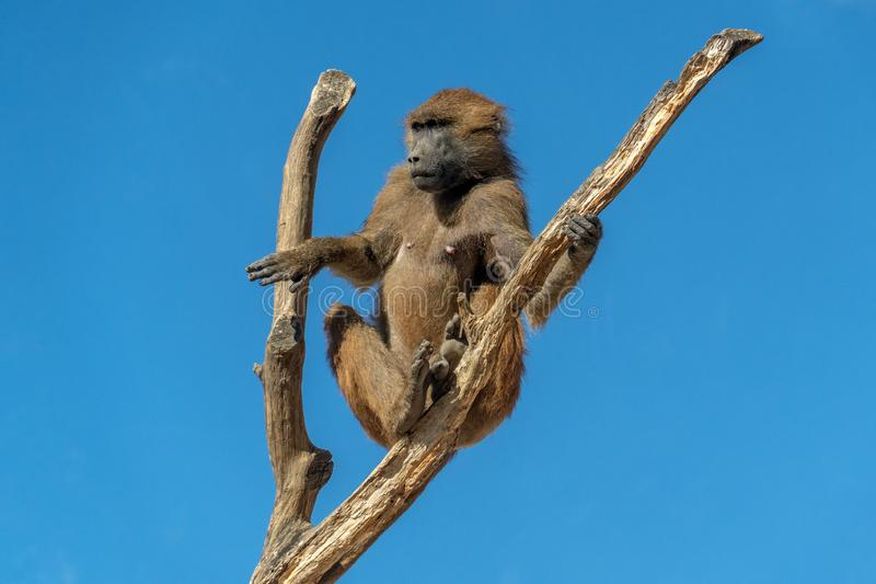 Baboon της Γουινέας πίθηκος πιθήκων στοκ φωτογραφία με δικαίωμα ελεύθερης χρήσης