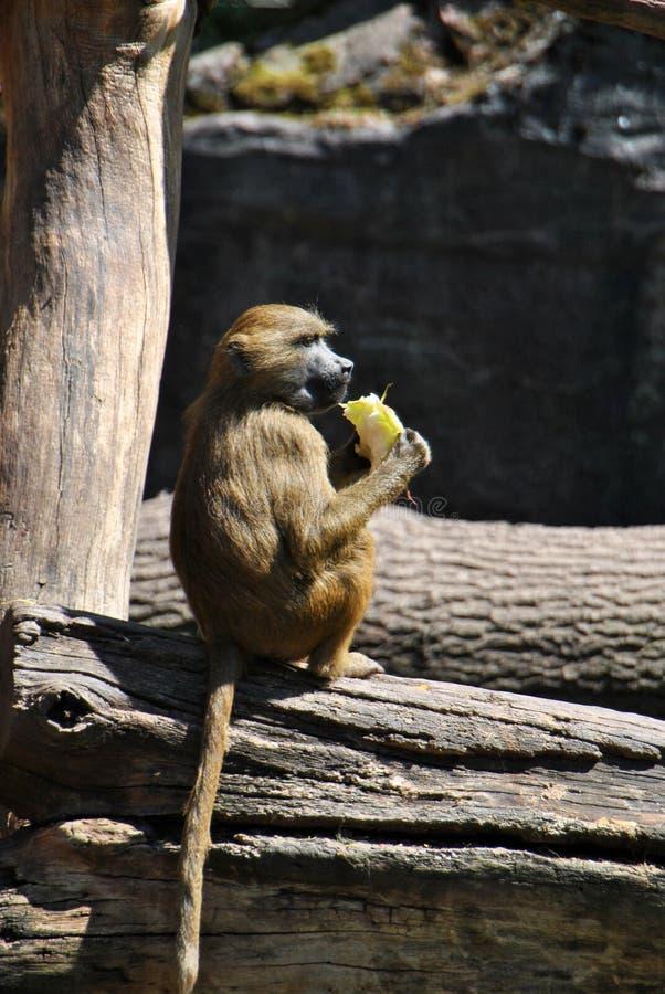 Baboon της Γουινέας πίθηκος που απολαμβάνει it's το μεσημεριανό γεύμα στοκ φωτογραφία