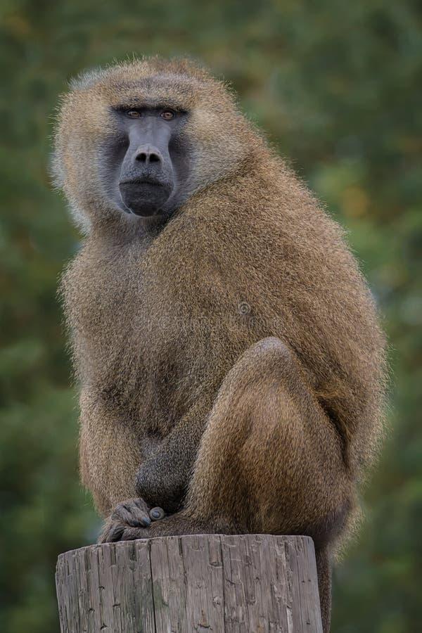 Baboon της Γουινέας στοκ εικόνα