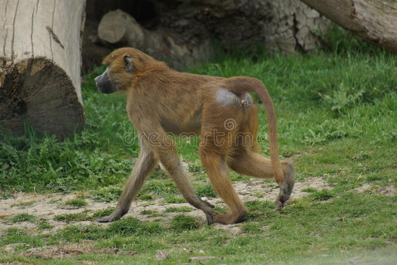 Baboon της Γουινέας - papio Papio στοκ εικόνα με δικαίωμα ελεύθερης χρήσης
