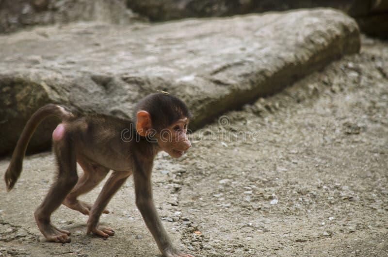 Baboon χιμπατζής στοκ φωτογραφία