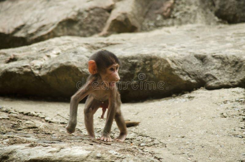 Baboon χιμπατζής στοκ φωτογραφία με δικαίωμα ελεύθερης χρήσης