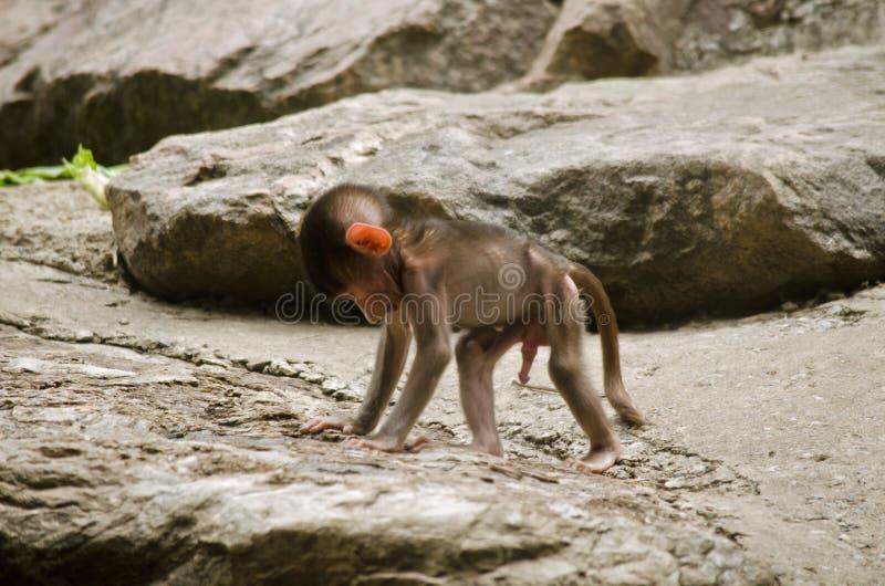 Baboon χιμπατζής στοκ εικόνες με δικαίωμα ελεύθερης χρήσης