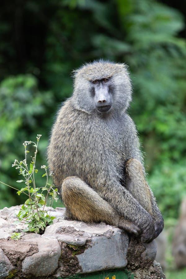 Baboon photo stock
