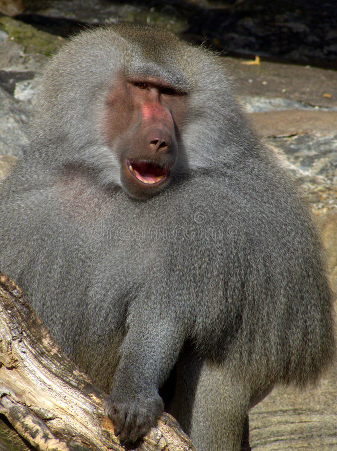 Download Baboon stock photo. Image of look, gazing, looking, observant - 15900728