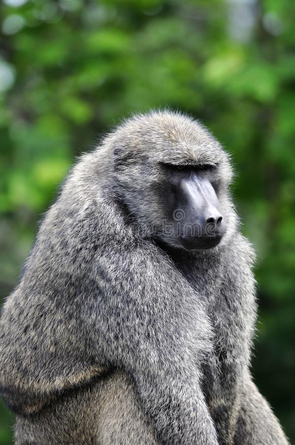 Free Baboon Royalty Free Stock Image - 20604606