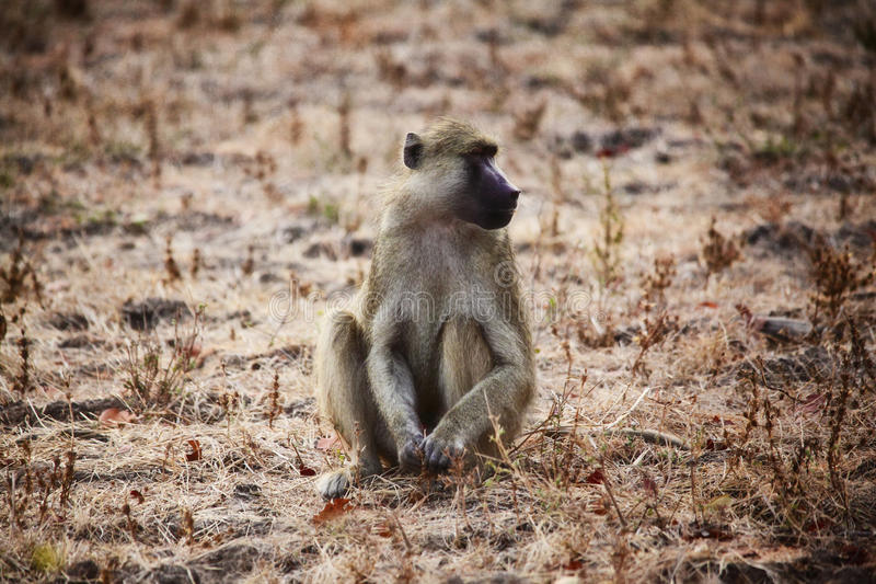 Baboon. Portrait of baboon in luangwa national park zambia royalty free stock photography