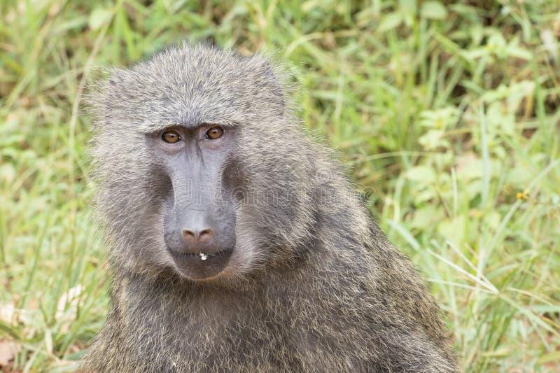 Baboon στοκ εικόνες