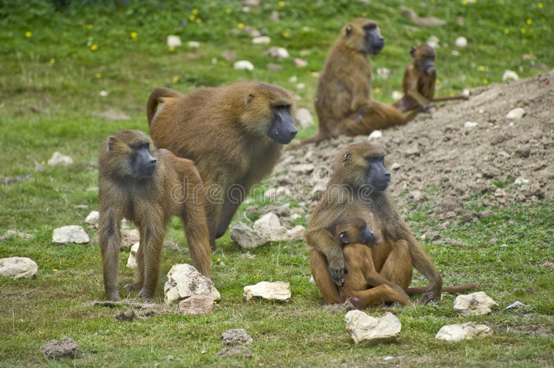 Baboon 4 royalty free stock photography