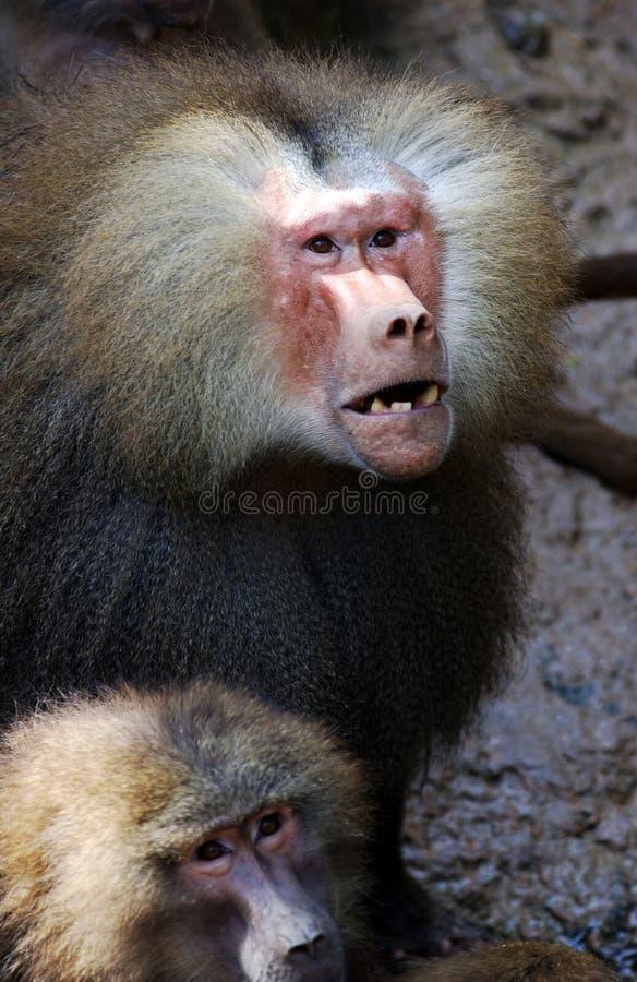 baboon royaltyfri bild