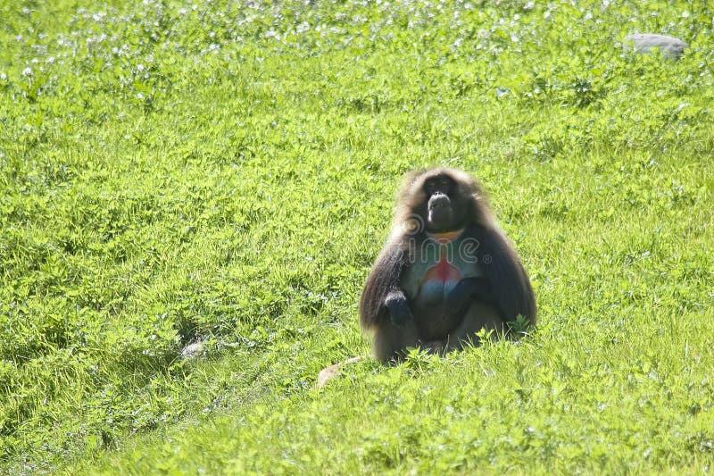 baboon arkivbilder