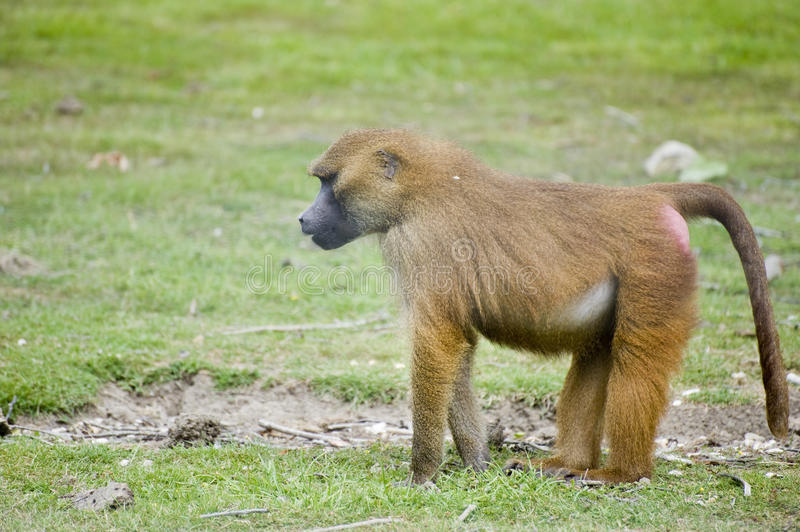Download Baboon 7 stock photo. Image of nature, monkey, baboon - 15651950