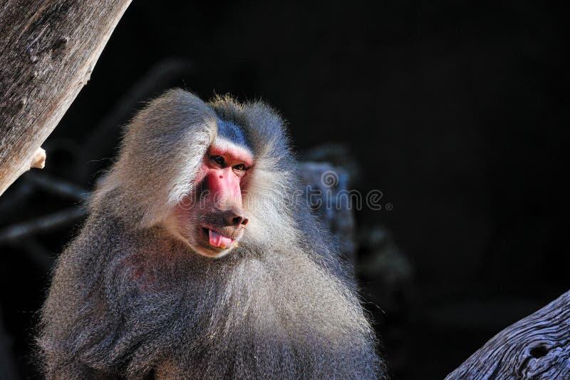 baboon royaltyfria foton