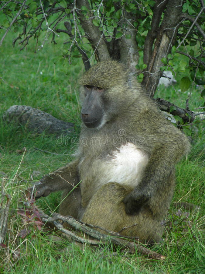 Baboon from africa eating some nuts. royalty free stock image