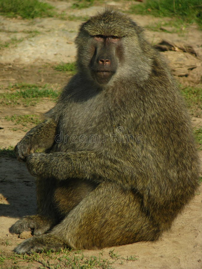 Baboon from africa eating some nuts. royalty free stock photo