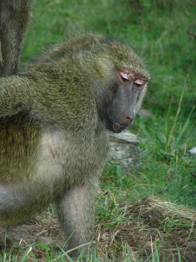 Baboon from africa eating some nuts. royalty free stock photos