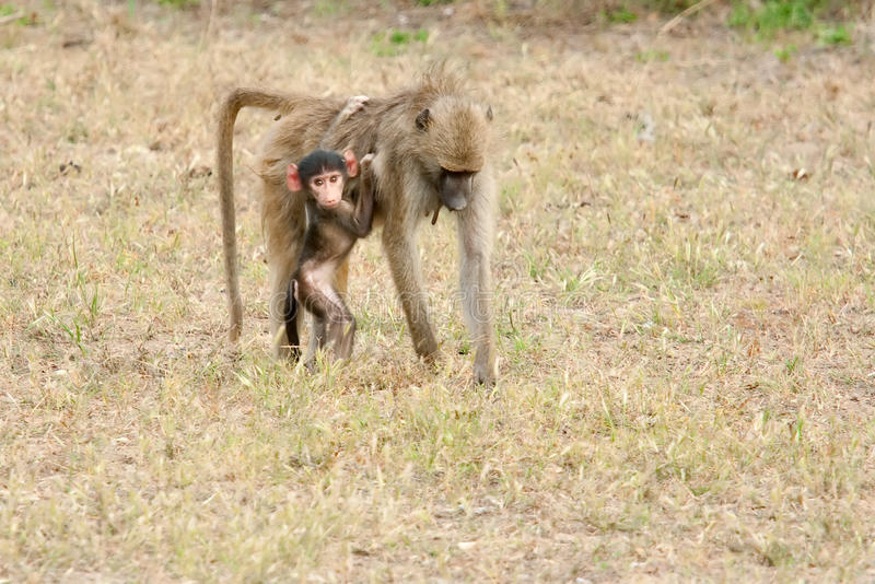 Download Baboon With a Baby stock image. Image of zambia, tunya - 14500451