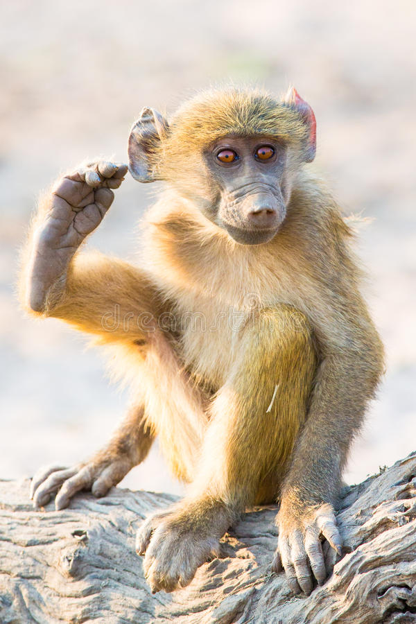 Baboon baby scratching his ear with his foot. While sitting on a log stock photo