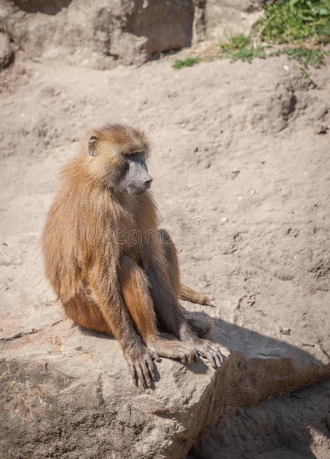 Baboon. Basking in the sun royalty free stock photography
