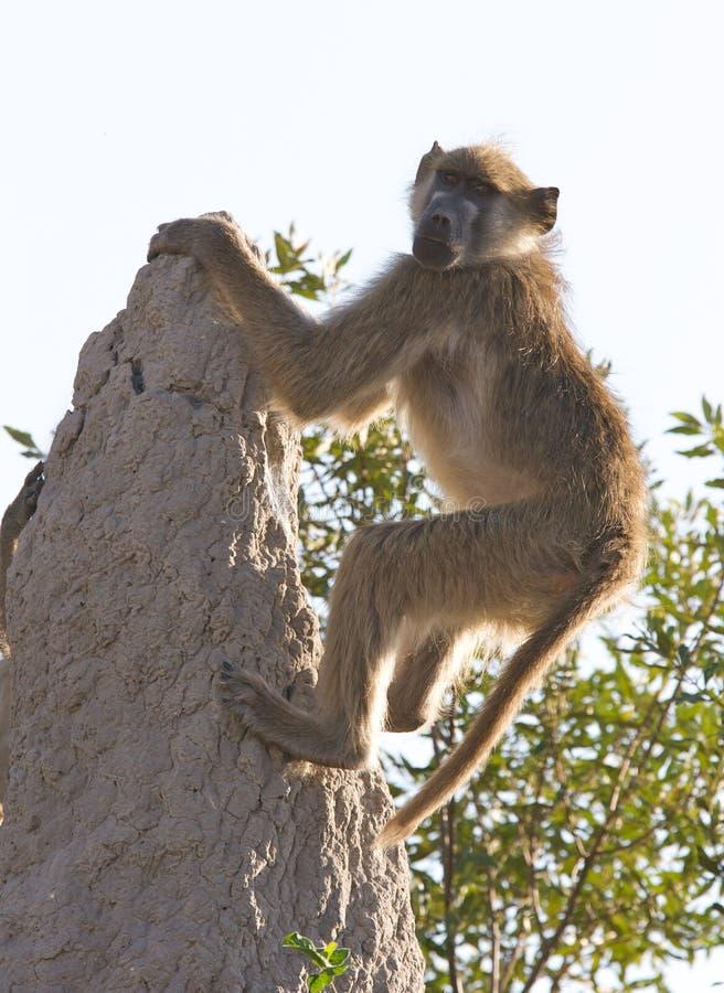 baboon chacma που αναρριχείται στο βράχο στοκ εικόνα