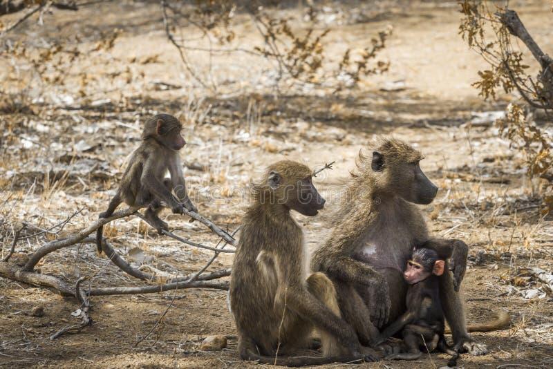 Baboon Chacma στο εθνικό πάρκο Kruger, Νότια Αφρική στοκ φωτογραφία
