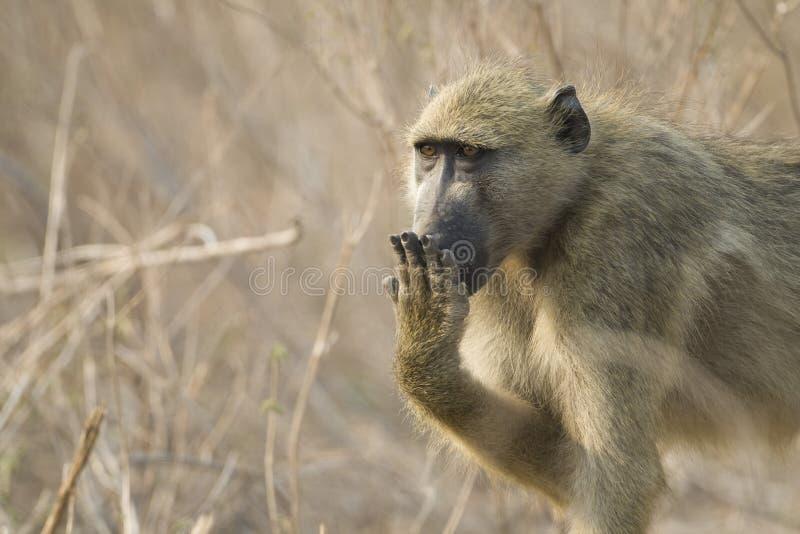 baboon chacma της Μποτσουάνα που καλύπτει το στόμα στοκ εικόνες