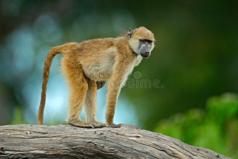 Baboon Chacma, ursinus Papio, πίθηκος από Moremi, δέλτα Okavango, Μποτσουάνα Άγριο θηλαστικό στο βιότοπο φύσης Frui σίτισης πιθήκ στοκ φωτογραφίες