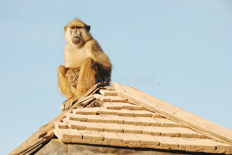 Baboon on deserted hut. In Amboseli Game park stock image