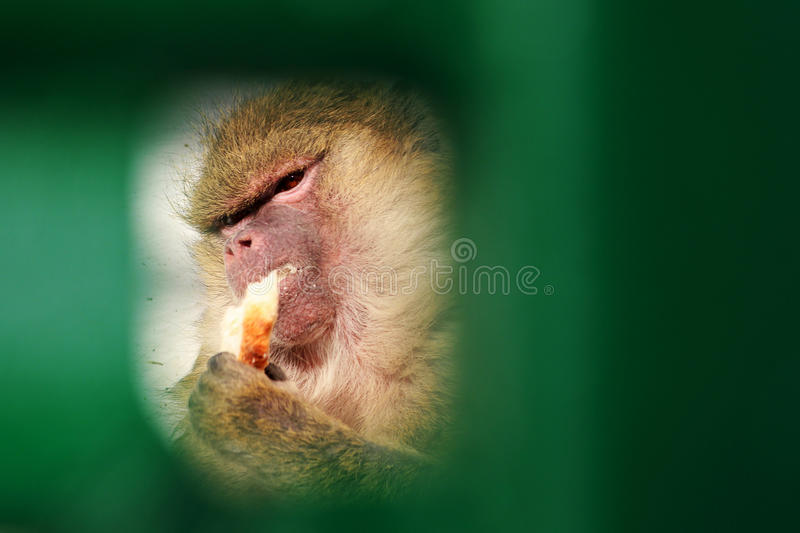 Baboon eating bread. Monkey eating bread seen through green gate. The picture was taken in Brasov Romania royalty free stock photos
