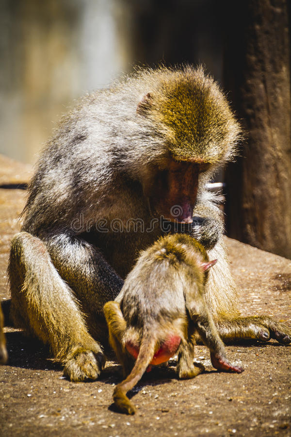Baboon eating a family group and monkey stock photography