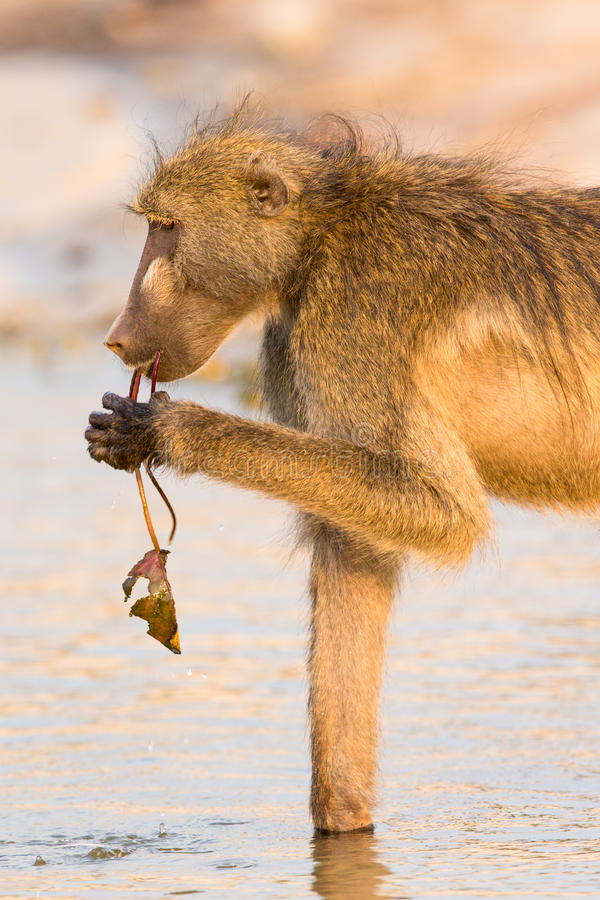 Baboon eating water lily royalty free stock images