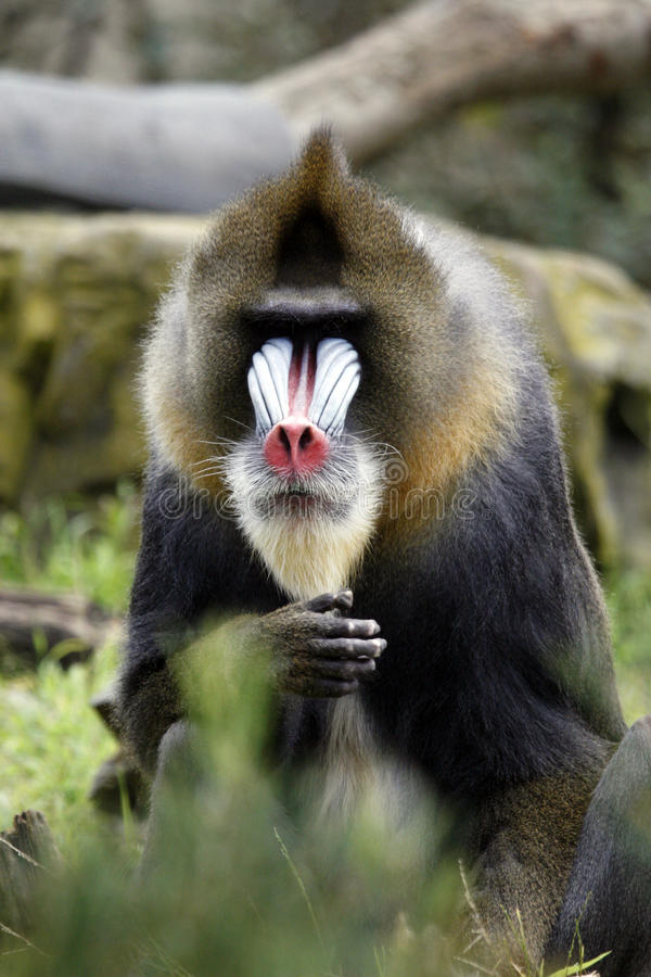 Baboon face stock image