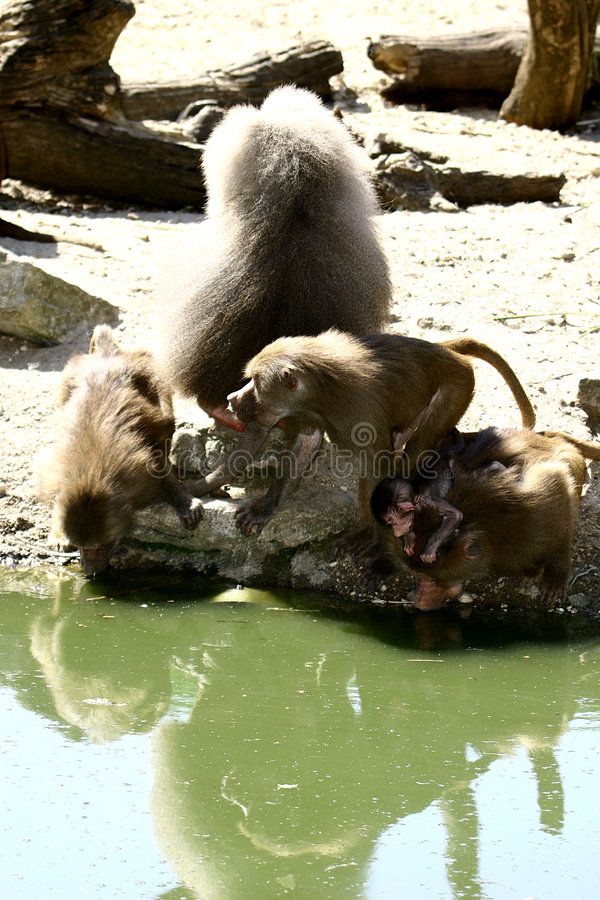 A baboon family and baby royalty free stock image