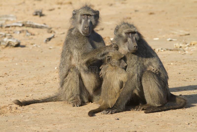 Baboon family royalty free stock photos