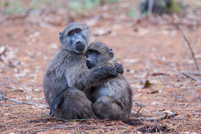 Download Baboon friends stock image. Image of baboon, infant, emotional - 28611997
