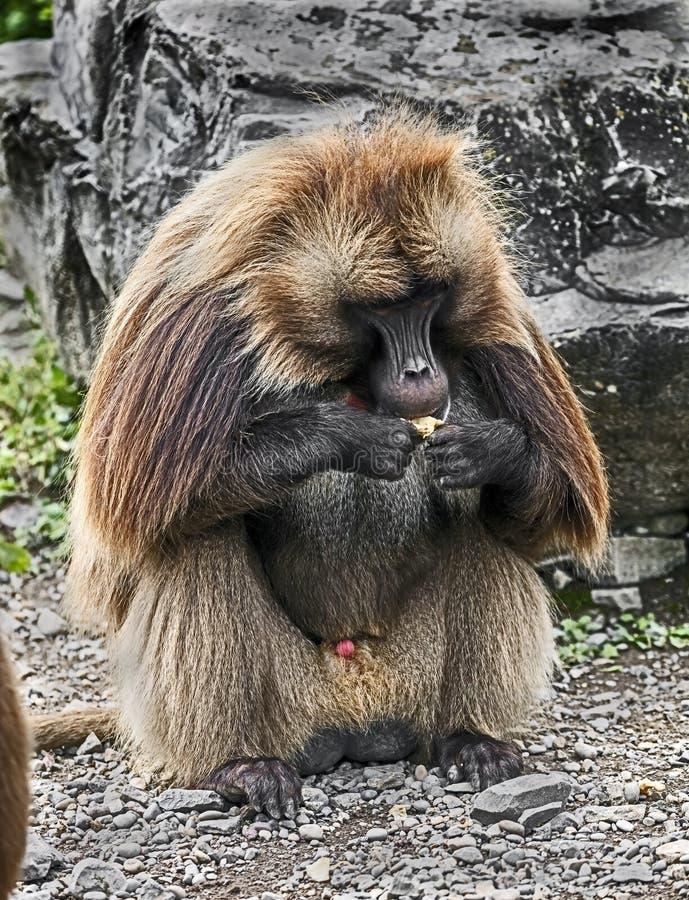 Baboon Gelada αρσενικό 7 στοκ εικόνες
