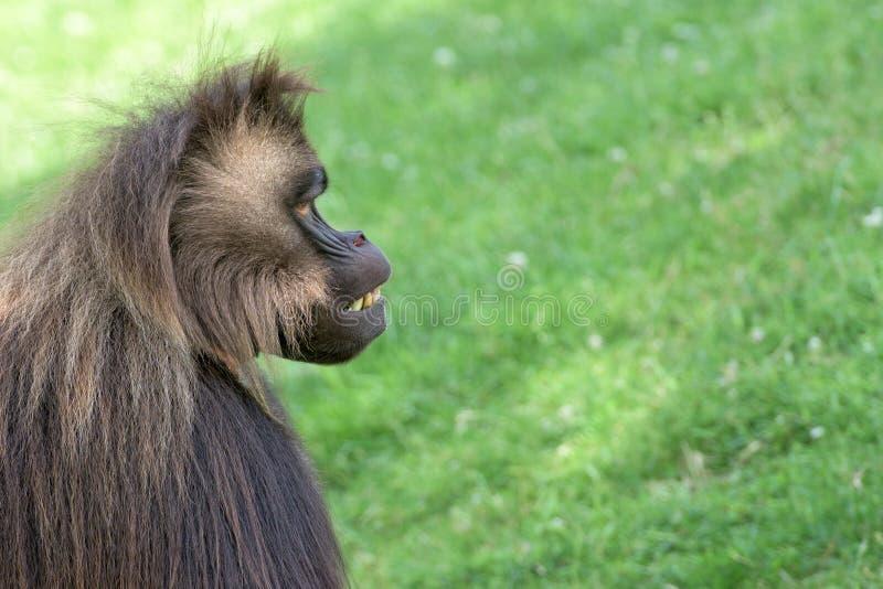 Baboon Gelada πορτρέτο πίθηκων πιθήκων στοκ εικόνες