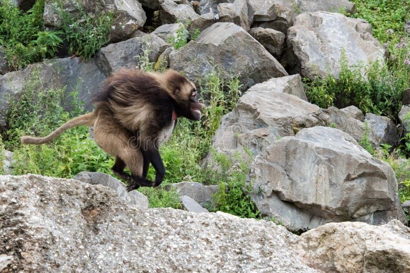 Baboon Gelada τρέξιμο πορτρέτου πίθηκων πιθήκων στοκ εικόνες