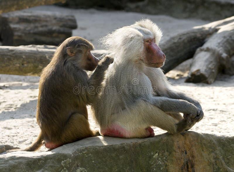 Baboon grooming royalty free stock photos