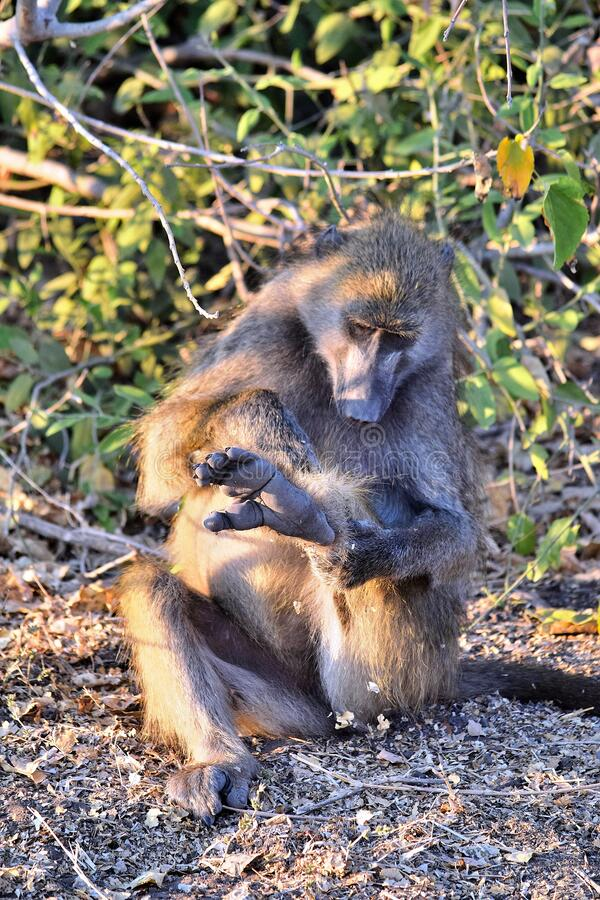 A baboon grooming himself sitting on the banks of the Chobe River. Botswana stock photos