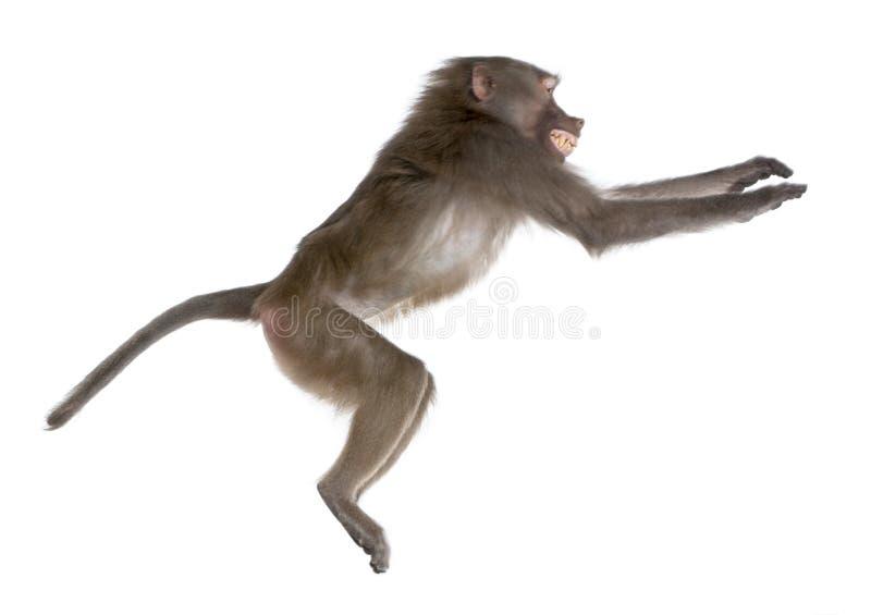 baboon hamadryas που πηδούν τη δευτερ&eps στοκ εικόνες