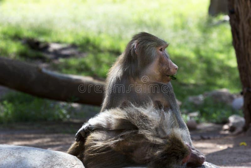 Baboon Hamadryas τρώει το φύλλο στοκ εικόνα