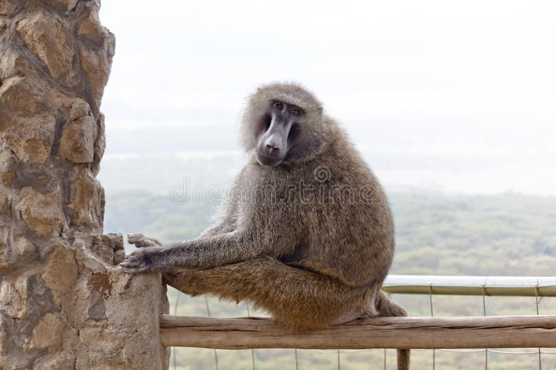 Download Baboon In The Kenya Royalty Free Stock Images - Image: 22695509