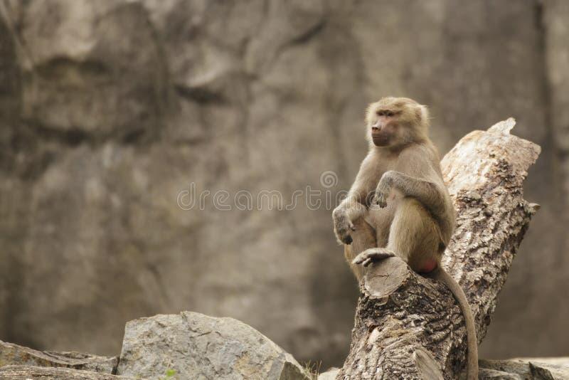Baboon on a log stock photos