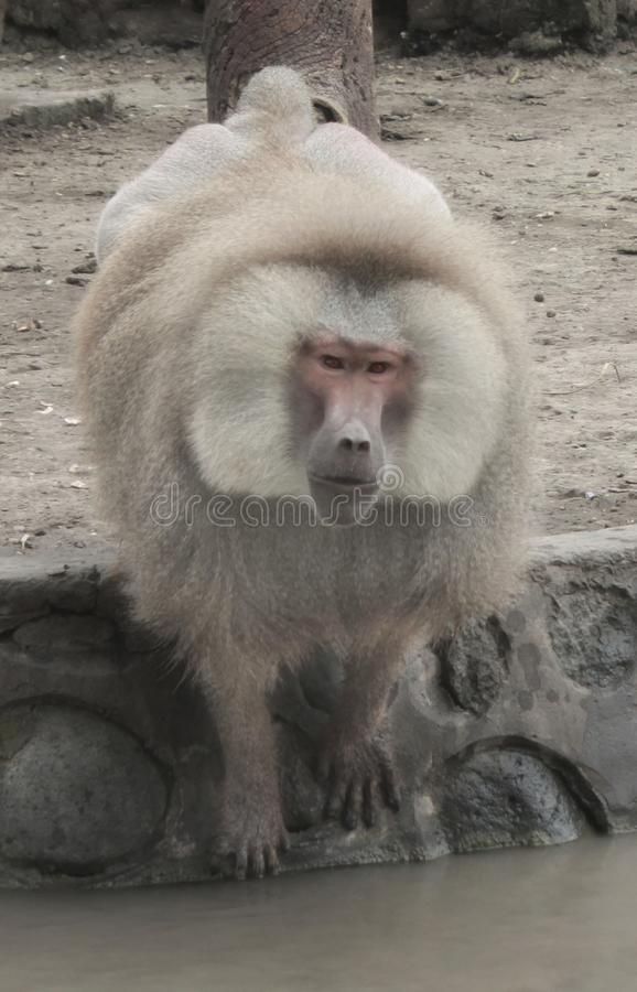 a large Old World ground-dwelling monkey with a long doglike snout, large teeth, and naked callosities on the buttocks. stock photography