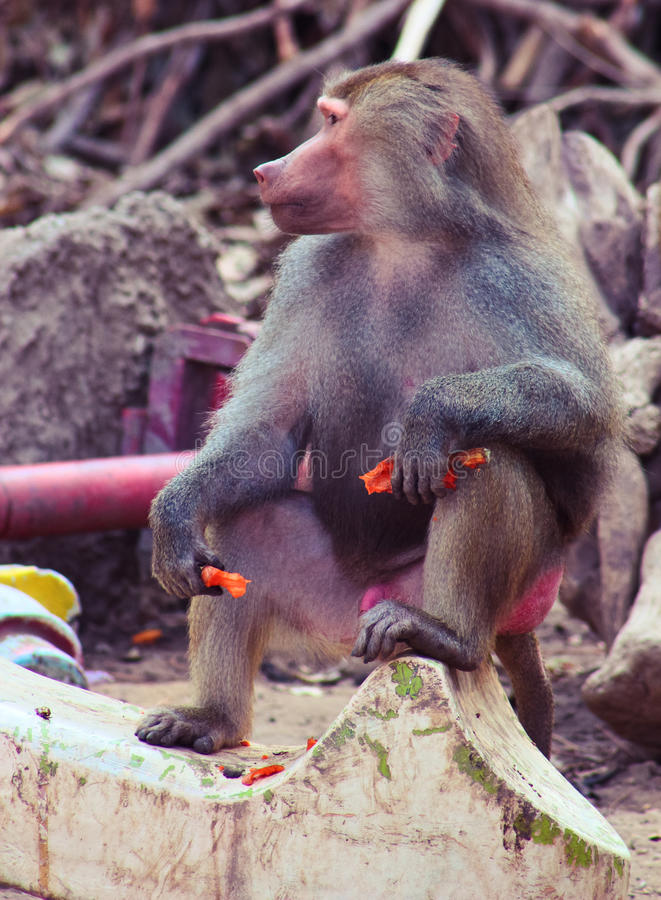 Free Baboon Monkey Chilling In The Zoo Royalty Free Stock Photos - 44792538