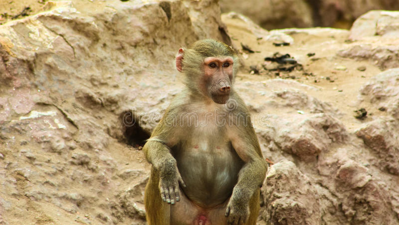 Baboon Monkey chilling in the zoo royalty free stock photos