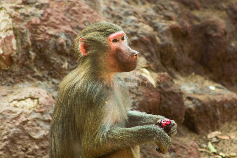 Baboon Monkey chilling in the zoo stock photo